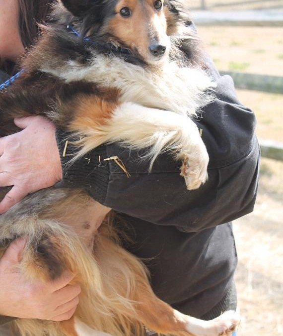 Bali – Sheltie  |  ADOPTED!