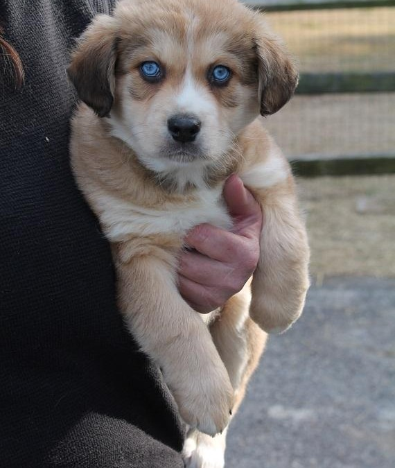 Sweet William – Australian Shepherd Mix & Spaniel  |  ADOPTED!