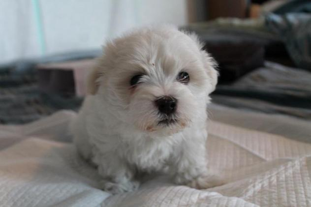 Charm – Maltese  |  ADOPTED!