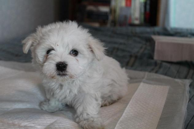 Lucky – Maltese     ADOPTED!