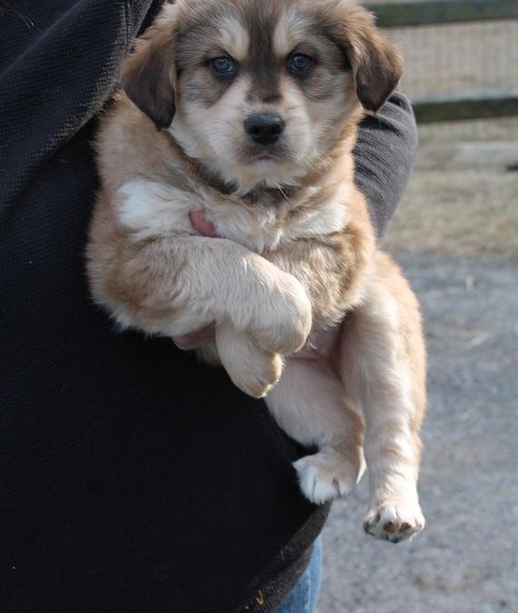 Poppy – Australian Shepherd Mix & Spaniel  |  ADOPTED!